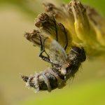 vlieg met schimmelinfectie entomophthora muscae