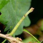 spanrups kleine zomervlinder