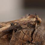 houtspaander