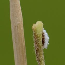 Groot dwergkapoentje larve