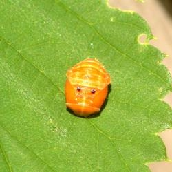 Lieveheersbeestje onbekend pop