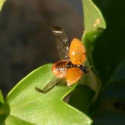 Lieveheersbeestje onbekend