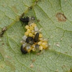 Lieveheersbeestje onbekend eitjes en jongen