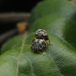 schaakbordlieveheersbeestjes