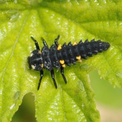 veelkleurig aziatisch lieveheersbeestje larve