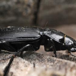 pterostichus spec (maar neig naar P. Niger)