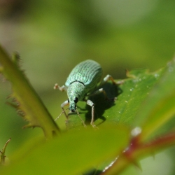 Groene snuitkever