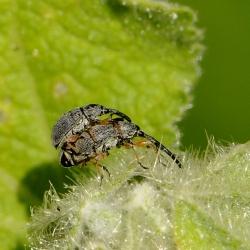 stokroossnuitkevers