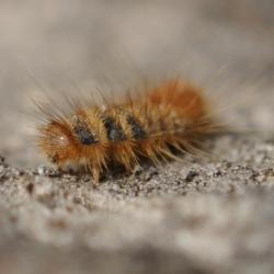 spekkever larve