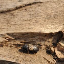 spekkevers
