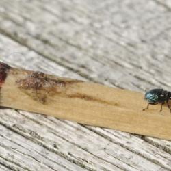 spitsnuittor spitsmuisje spec Apionidae