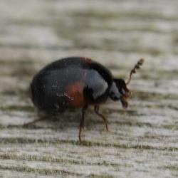 truffelkever