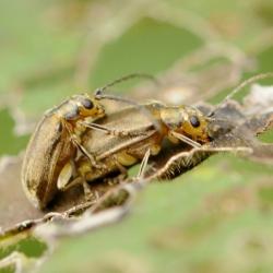 Sneeuwbalhaantjes of viburnumkevers