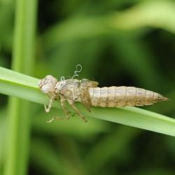 libel larvenhuidje