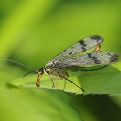 gewone schorpioenvlieg vrouw