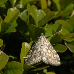 waterlelievlinder