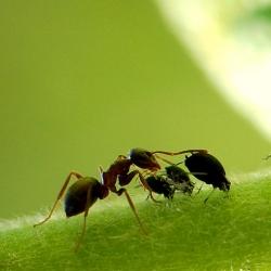 mieren melken bladluizen