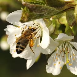 gewone honingbij