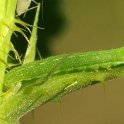 rups agaatvlinder