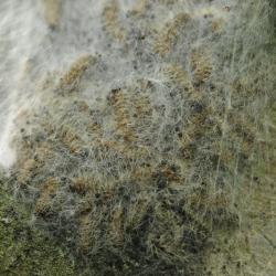 eikenprocessievlinder rupsen