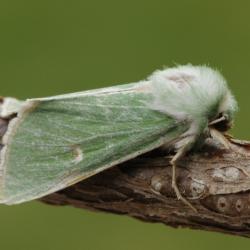 groene weideuil