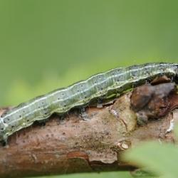 nunvlinder rups