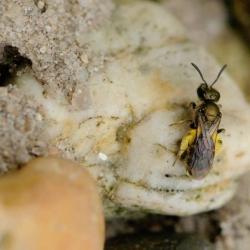Lasioglossum spec. Een van de drie smaragdgroefbijtjes , een vrouwtje.jpg
