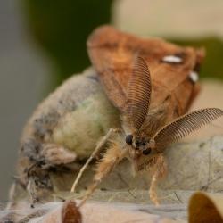 witvlakvlinder mannetje kop