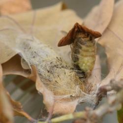 witvlakvlinder paring