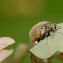 witvlakvlinder vrouwtje