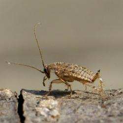 Bleke kakkerlak