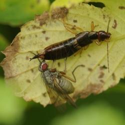 oorworm en vlieg