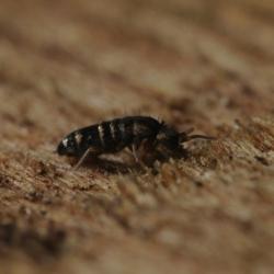 springstaartje Tomocerus vulgaris