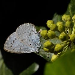 boomblauwtje eileg op klimop