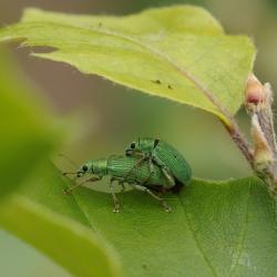 groene snuitkevers