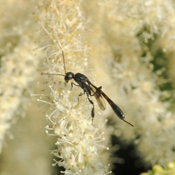 Hongerwerp Gasteruption spec