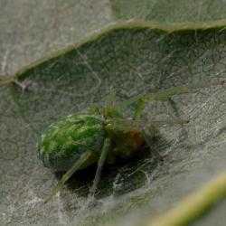 groen kaardertje