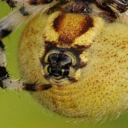 viervlekwielwebspin spintepels