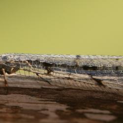 gewone mierenleeuw