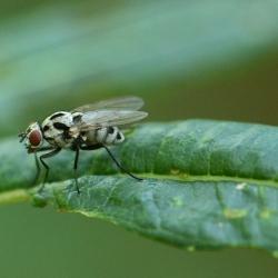 bloemvlieg Eustalomyia hilaris
