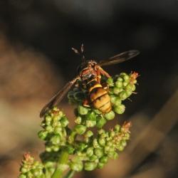 hoornaarblaaskop Conops vesicularis