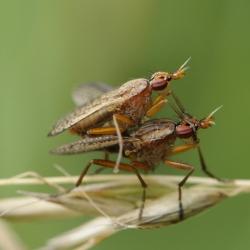 Slakkenvliegen - Euthycera (fumigata)