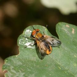 sluipvlieg waarschijnlijk de Ectophasia crassipennis