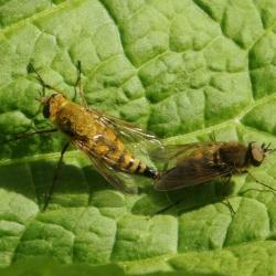 viltvliegen thereva nobilitata