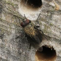 Calliphoridae vleesvlieg