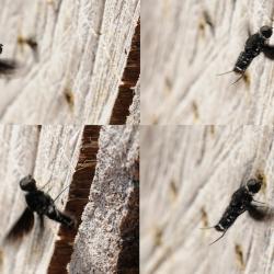 Muurrouwzwever - Anthrax anthrax eileg collage