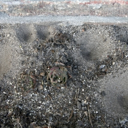 gewone mierenleeuw vangputjes