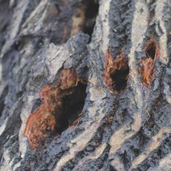 grote bonte specht sporen