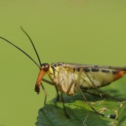 Gewone Schorpioenvlieg - Panorpa communis of Weideschorpioenvlieg - Panorpa vulgaris.jpg