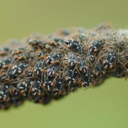 Bonte wilgetakluis - Pterocomma salicis